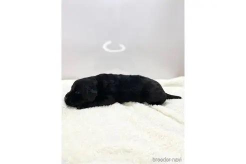 ラブラドールレトリバーの子犬(ID:1232311071)の3枚目の写真/更新日:2020-04-03