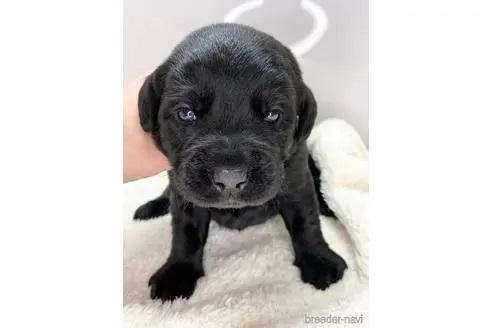 ラブラドールレトリバーの子犬(ID:1232311072)の1枚目の写真/更新日:2020-04-03