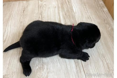 ラブラドールレトリバーの子犬(ID:1232311072)の2枚目の写真/更新日:2020-04-03