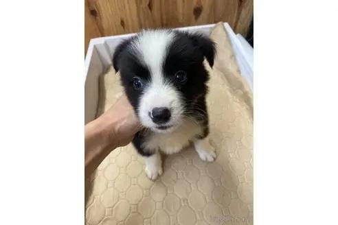 ボーダーコリーの子犬(ID:1232311073)の1枚目の写真/更新日:2021-03-29
