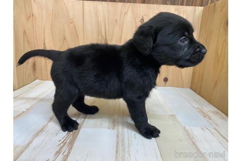ラブラドールレトリバーの子犬(ID:1232311080)の2枚目の写真/更新日:2020-04-03