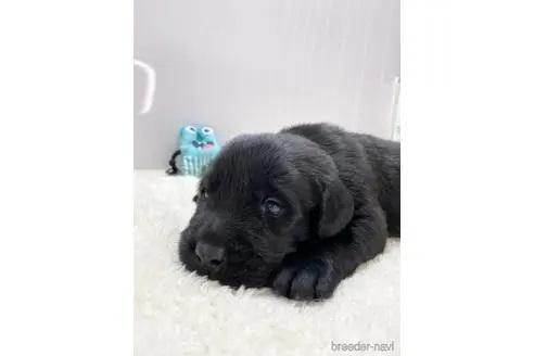 ラブラドールレトリバーの子犬(ID:1232311088)の2枚目の写真/更新日:2021-06-06