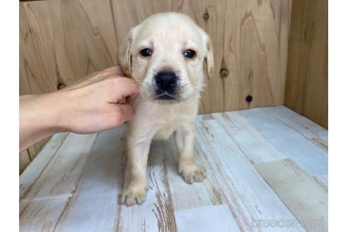 ラブラドールレトリバーの子犬(ID:1232311090)の1枚目の写真/更新日:2021-05-31