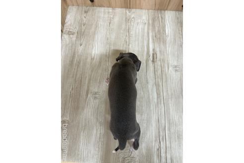 イタリアングレーハウンドの子犬(ID:1232311094)の2枚目の写真/更新日:2020-10-22