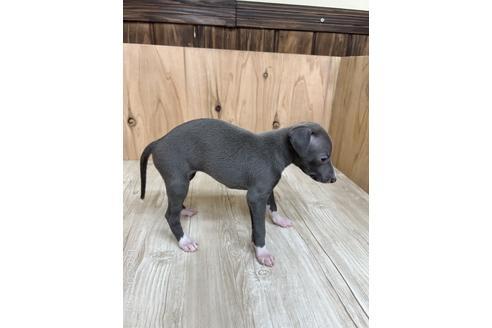 イタリアングレーハウンドの子犬(ID:1232311094)の3枚目の写真/更新日:2020-10-22