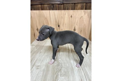 イタリアングレーハウンドの子犬(ID:1232311094)の4枚目の写真/更新日:2020-10-22