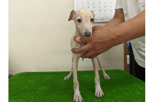イタリアングレーハウンドの子犬(ID:1232311095)の1枚目の写真/更新日:2020-10-22