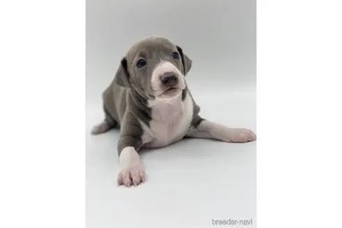 イタリアングレーハウンドの子犬(ID:1232311096)の1枚目の写真/更新日:2020-10-22