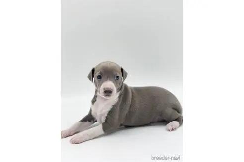 イタリアングレーハウンドの子犬(ID:1232311096)の3枚目の写真/更新日:2020-09-19