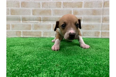 イタリアングレーハウンドの子犬(ID:1232311099)の1枚目の写真/更新日:2020-08-30