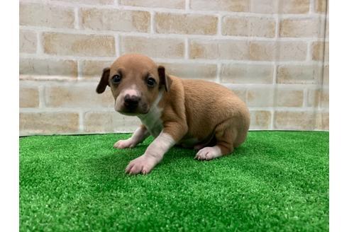 イタリアングレーハウンドの子犬(ID:1232311099)の3枚目の写真/更新日:2020-08-30