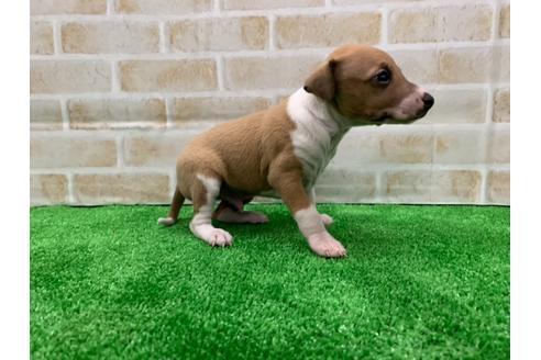 イタリアングレーハウンドの子犬(ID:1232311099)の4枚目の写真/更新日:2020-12-28