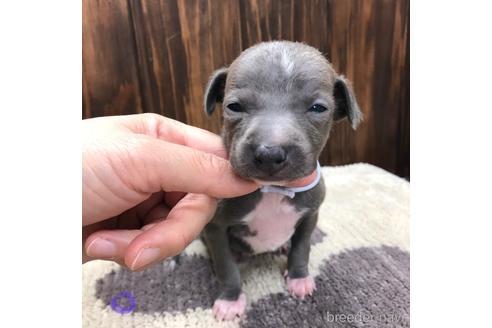 イタリアングレーハウンドの子犬(ID:1232311100)の1枚目の写真/更新日:2020-08-30