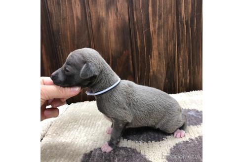 イタリアングレーハウンドの子犬(ID:1232311100)の3枚目の写真/更新日:2020-08-30