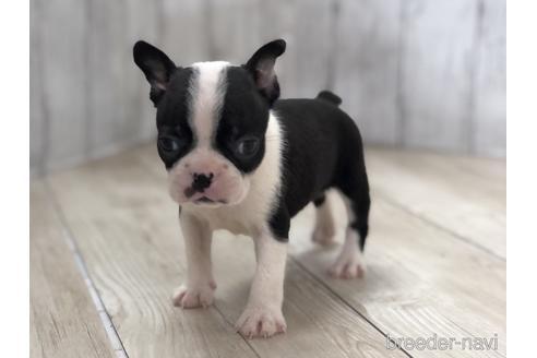 ボストンテリアの子犬(ID:1232311103)の1枚目の写真/更新日:2020-12-14