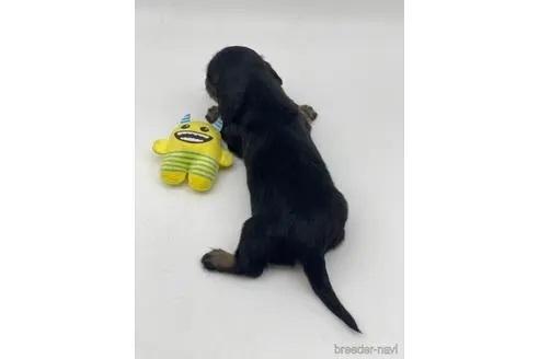 ミニチュアダックスフンド(ロング)の子犬(ID:1232311104)の2枚目の写真/更新日:2020-10-22