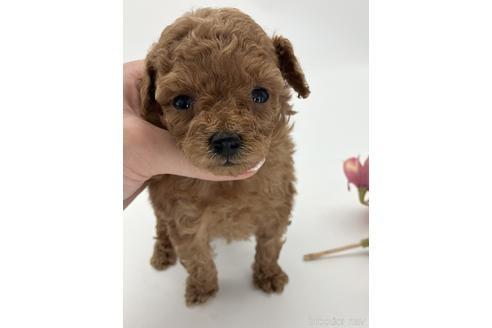 トイプードルの子犬(ID:1232311106)の1枚目の写真/更新日:2020-10-23