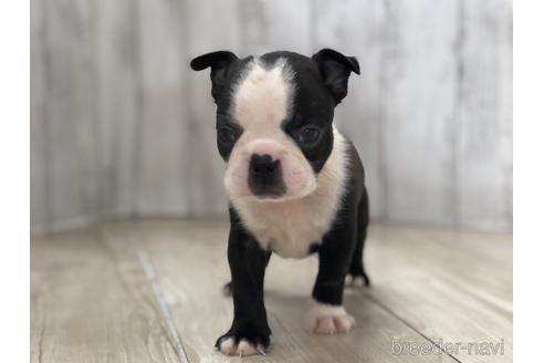 ボストンテリアの子犬(ID:1232311115)の1枚目の写真/更新日:2021-08-06