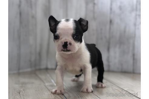 ボストンテリアの子犬(ID:1232311117)の1枚目の写真/更新日:2021-08-06