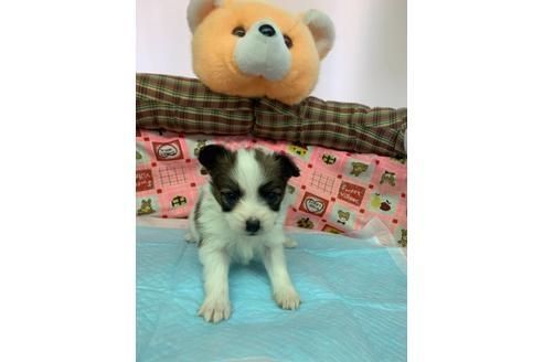パピヨンの子犬(ID:1232311118)の1枚目の写真/更新日:2020-12-21