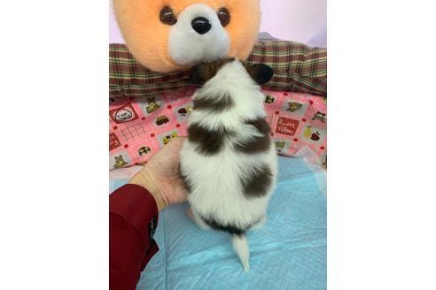 パピヨンの子犬(ID:1232311118)の2枚目の写真/更新日:2020-12-21