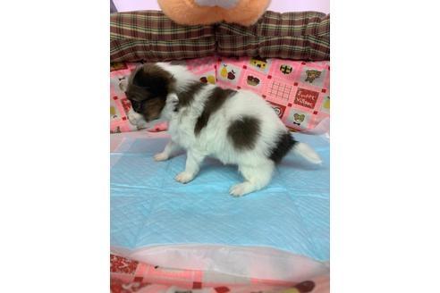 パピヨンの子犬(ID:1232311118)の3枚目の写真/更新日:2020-12-21