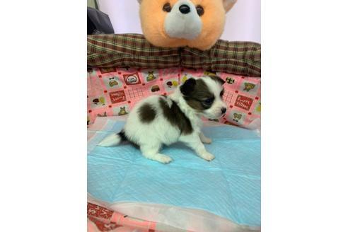 パピヨンの子犬(ID:1232311118)の4枚目の写真/更新日:2020-12-21