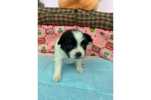 パピヨンの子犬(ID:1232311119)の1枚目の写真/更新日:2020-12-21