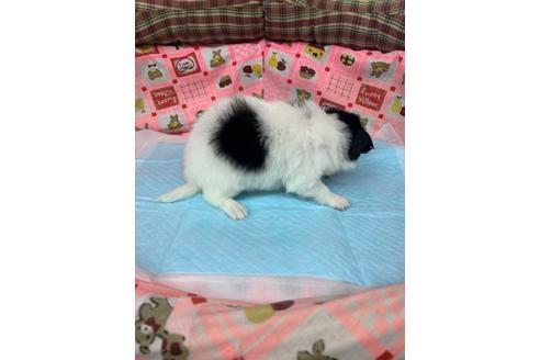 パピヨンの子犬(ID:1232311119)の3枚目の写真/更新日:2020-12-21