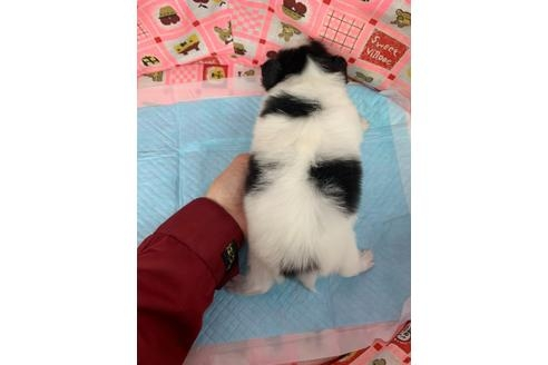 パピヨンの子犬(ID:1232311119)の4枚目の写真/更新日:2020-12-21