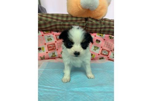 パピヨンの子犬(ID:1232311120)の1枚目の写真/更新日:2020-12-21