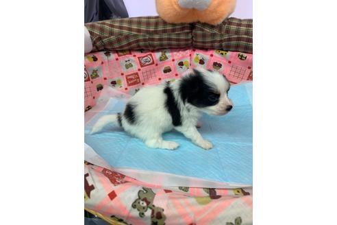 パピヨンの子犬(ID:1232311120)の2枚目の写真/更新日:2020-12-21
