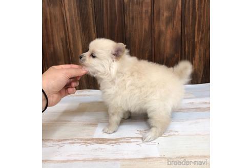 ポメラニアンの子犬(ID:1232311121)の2枚目の写真/更新日:2020-12-28