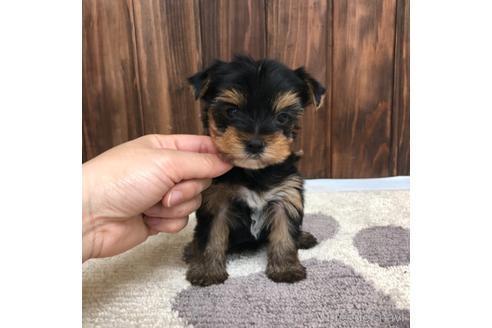 ヨークシャーテリアの子犬(ID:1232311122)の1枚目の写真/更新日:2021-05-31