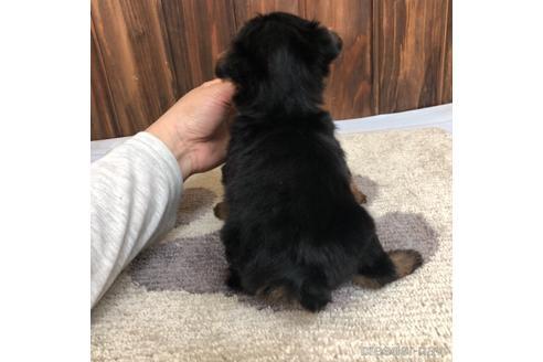 ヨークシャーテリアの子犬(ID:1232311123)の2枚目の写真/更新日:2021-05-31