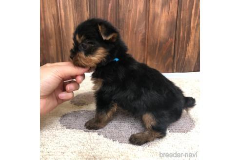 ヨークシャーテリアの子犬(ID:1232311123)の3枚目の写真/更新日:2021-05-31