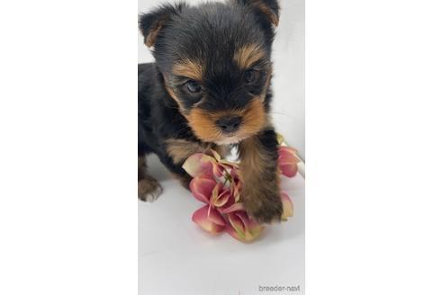 ヨークシャーテリアの子犬(ID:1232311124)の1枚目の写真/更新日:2021-05-31