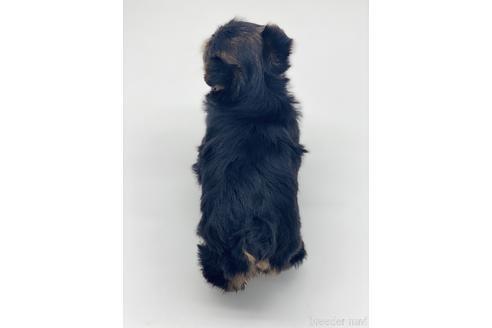 ヨークシャーテリアの子犬(ID:1232311124)の2枚目の写真/更新日:2021-05-31