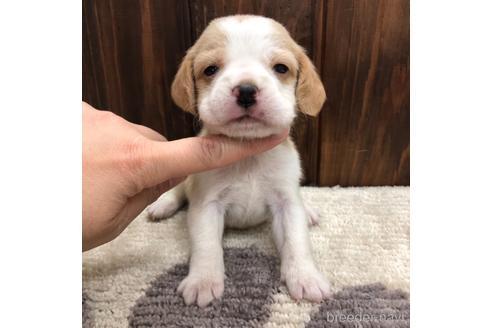 ビーグルの子犬(ID:1232311125)の1枚目の写真/更新日:2021-05-31