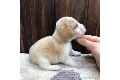 ビーグルの子犬(ID:1232311125)の2枚目の写真/更新日:2021-05-31