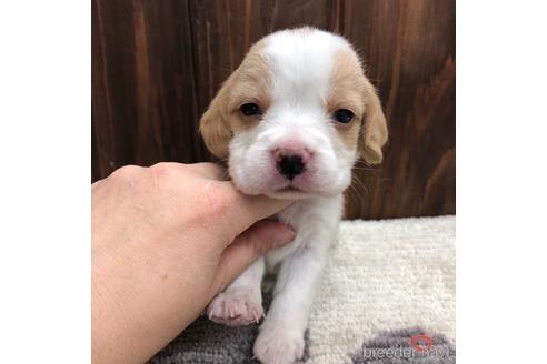 ビーグルの子犬(ID:1232311126)の1枚目の写真/更新日:2021-05-31
