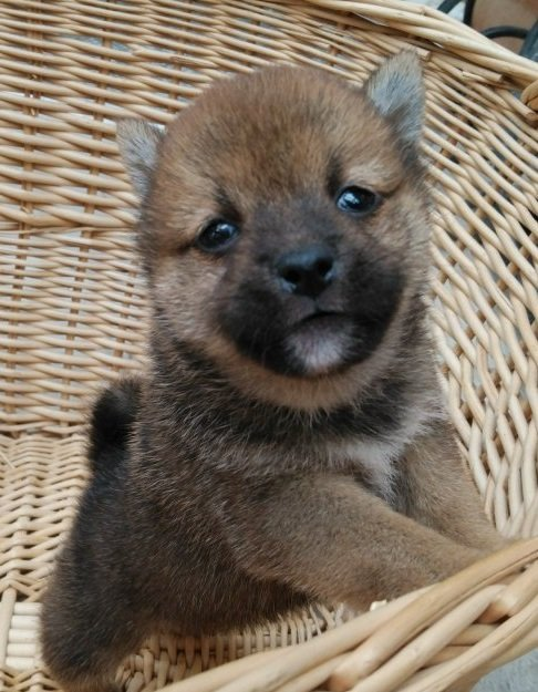 柴犬の子犬(ID:1232611041)の2枚目の写真/更新日:2018-06-06