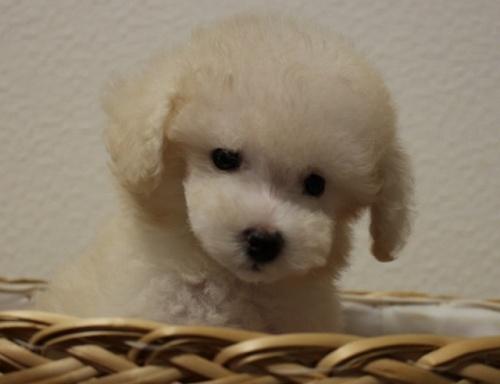 トイプードルの子犬(ID:1232711007)の1枚目の写真/更新日:2018-06-18