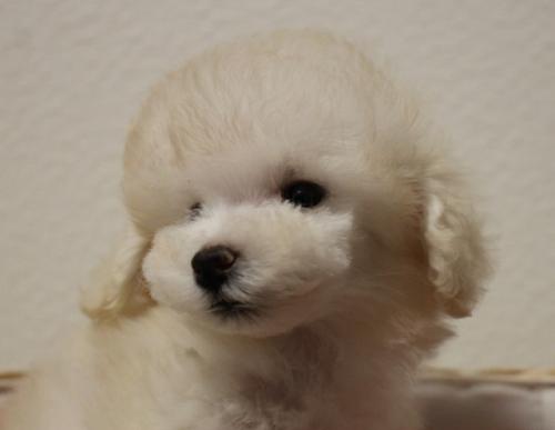 トイプードルの子犬(ID:1232711007)の2枚目の写真/更新日:2018-06-18