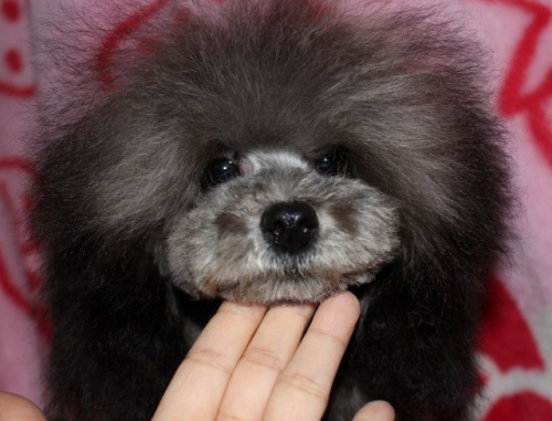 トイプードルの子犬(ID:1232711046)の3枚目の写真/更新日:2017-03-28