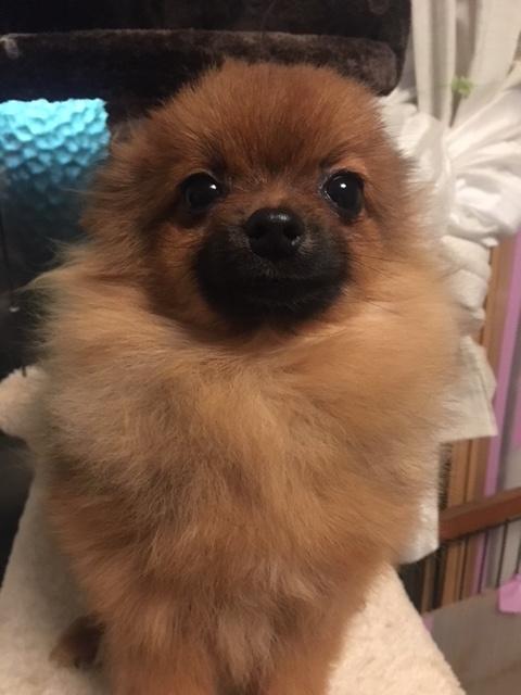 ポメラニアンの子犬(ID:1232711048)の1枚目の写真/更新日:2018-01-17
