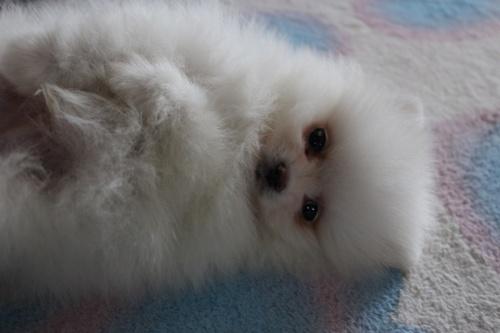 ポメラニアンの子犬(ID:1232711049)の1枚目の写真/更新日:2018-03-01