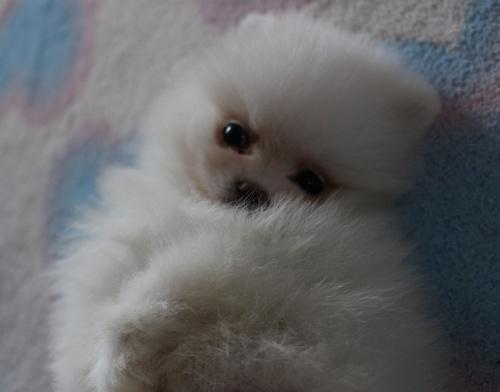 ポメラニアンの子犬(ID:1232711049)の2枚目の写真/更新日:2018-03-01