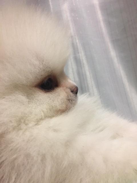 ポメラニアンの子犬(ID:1232711049)の3枚目の写真/更新日:2018-03-01