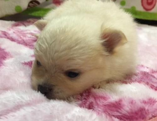 ポメラニアンの子犬(ID:1232711050)の3枚目の写真/更新日:2018-05-09